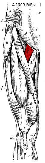 Pectineus