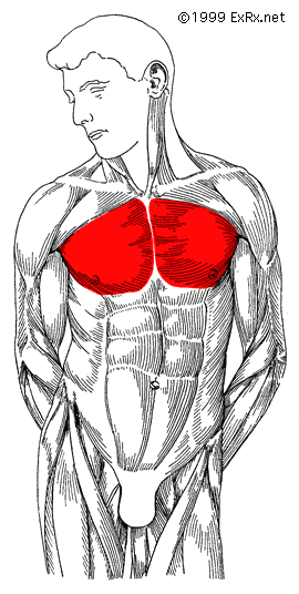 Pectoralis Major (Sternal Head)